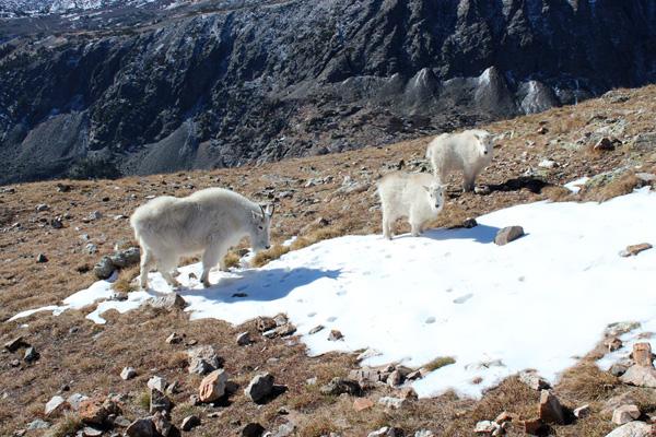Mountain Goats on Quandary Peak, Colorado