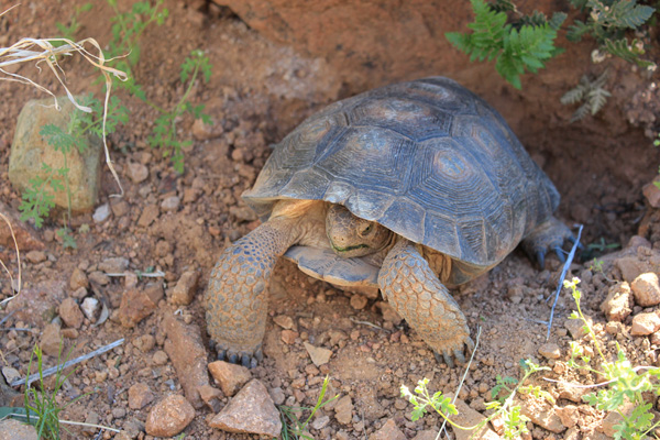 The tortoise begins to come out of his shell