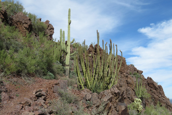 Organ pipe cactus joined saguaro cactus in protected spots along the trail