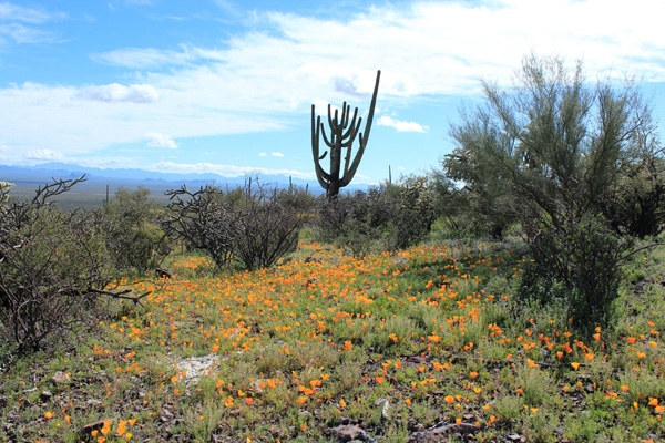 Poppies, cholla, and saguaro near our parking spot