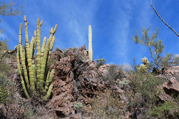 Organ Pipe, Saguaro, and Cholla cacti in the sheltered environment of the rock band beside the trail
