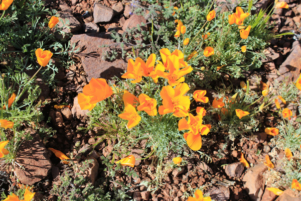 Mexican Gold Poppies (subspecies of California Poppies)