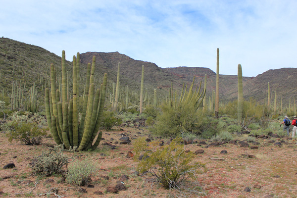 Saguaro cactus are joined by organ pipe cactus as we enter the canyon below Mesquite Benchmark.