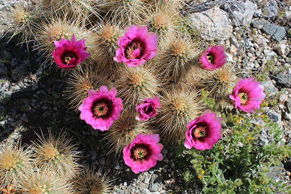 Engelmann's Hedgehog Cactus (Echinocereus engelmannii) on the upper SE Ridge