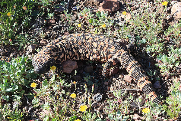 I looked down and saw this beautiful Gila Monster gaping at me. It calmly watched me as I photographed it.