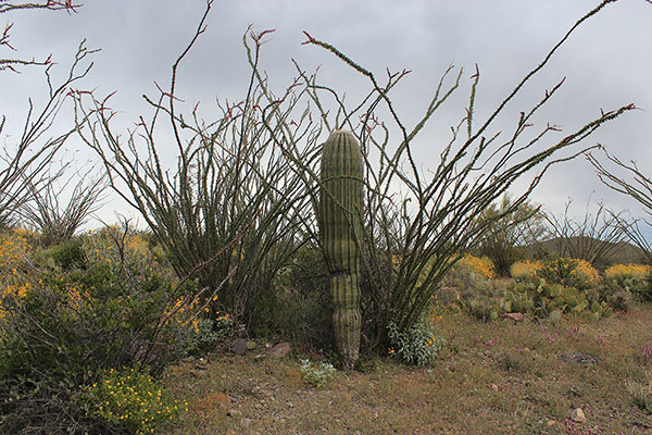 Ocotillo, saguaro, and prickly pear cacti with brittlebush