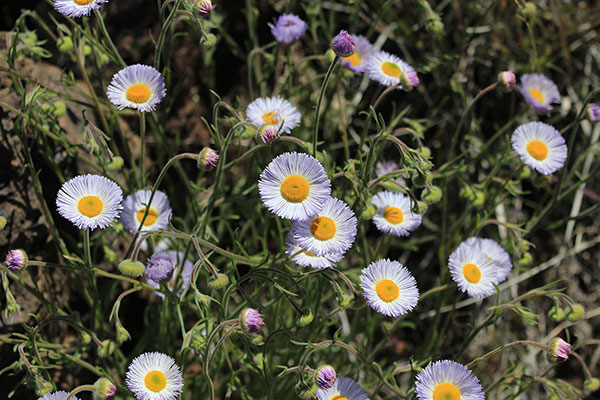 Nearby I also found patches of Spreading Fleabane (Erigeron divergens)