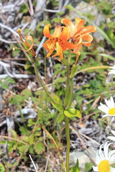 Columbia Lily (Lilium columbianum) on the Edson Butte summit