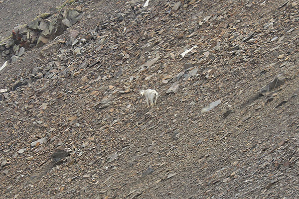A mountain goat (Oreamnos americanus) pauses on talus slopes and looks back at me as I climb above to the right on the ridgeline