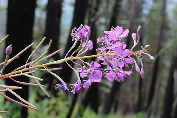 Fireweed (Chamaenerion angustifolium) blossoms beside the Thorp Creek Trail where there had been a wildfire