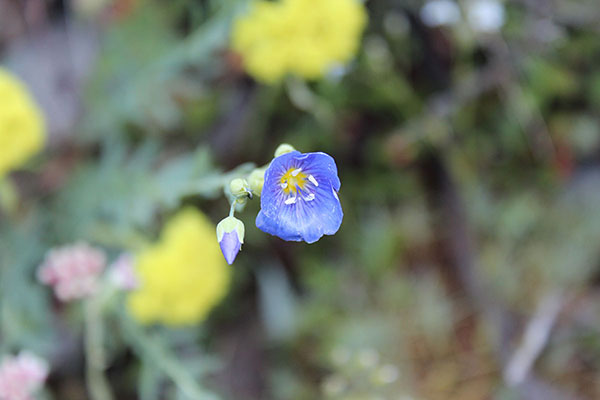 Lewis Flax (Linum lewisii), named after Meriwether Lewis of the Lewis and Clark Expedition.