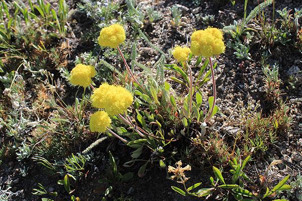 I think this is Rock Buckwheat (Eriogonum sphaerocephalum)