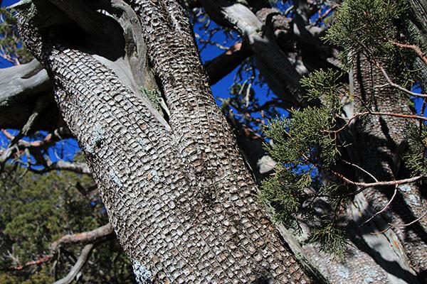 Alligator Juniper (Juniperus deppeana) at the saddle