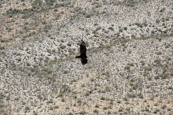A Turkey Vulture (Cathartes aura) glides past me as I descend from Maricopa Peak