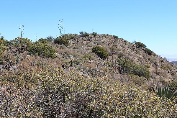 The Whitlock Peak summit from the brushy, but easily passable, summit ridge